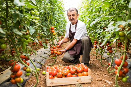 Older man picking fresh red cherry tomatoes harvest in wooden box in greenhouse.