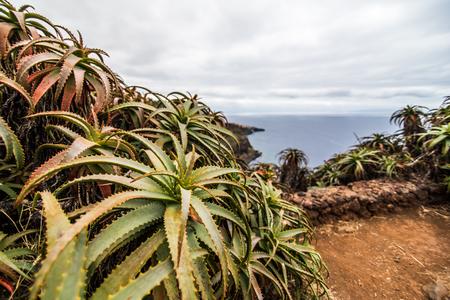 Aloe flowers on coast on Madeira island