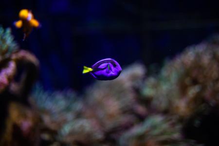 Fish violet surgeon reflection floating in aquarium