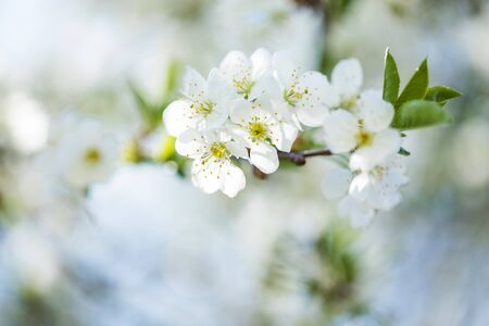 The blooming trees with the white flowers on sky background
