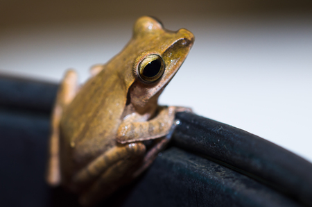 red eyed leaf frog: selective focus of close up isolated toad ideal for art and abstract and other purposes