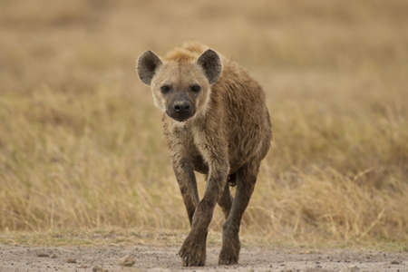 amboseli: hyena in amboseli national park