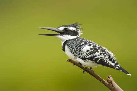 pied kingfisher on a branch