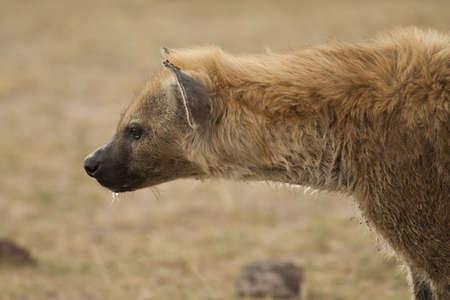 voracious: hyena of amboseli national park in profile