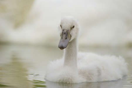 racconigi: young swan swimming on a pond