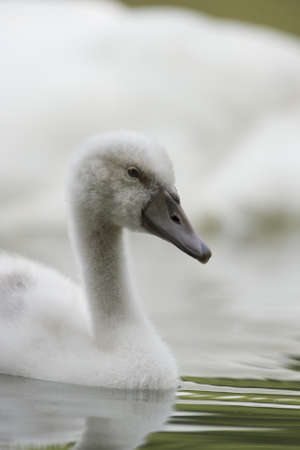 racconigi: young swan near his mother
