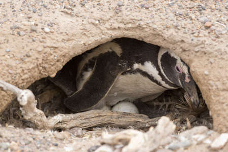brooding: magellanic penguin brooding in punta tombo, patagonia, argentina
