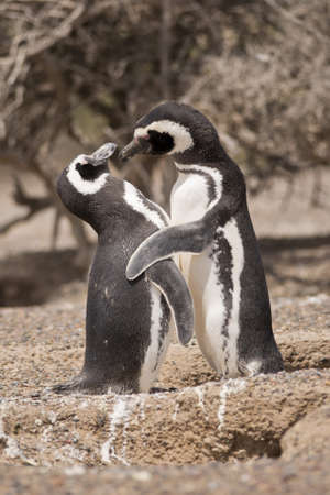 two magellanic penguin in the pinguinera in  punta tombo, patagonia, argentina, standing in front of their nest