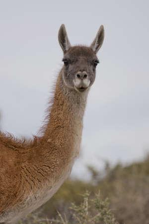 guanaco: portrait of a young guanaco in punta tombo