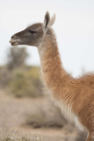 portrait of a young guanaco in punta tombo