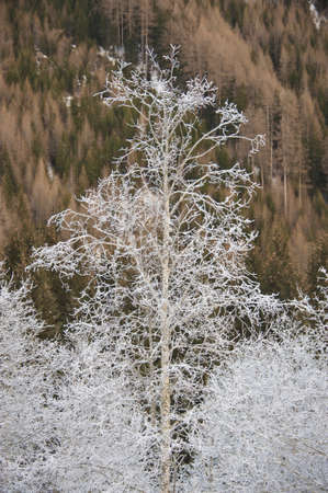 sudtirol: frosted trees in the valley of pfitsch in sudtirol