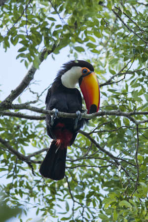 colorful toucan sitted on a branch in the Iguazu National Park between Argentina and Brazil Stock Photo - 17335609