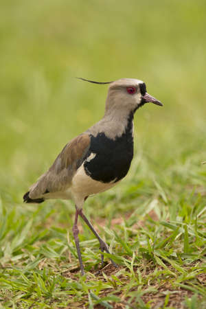 Southern lapwing on the grass  Typical bird of South America, also called Tero  Vanellus Chilensis Stock Photo - 17335602