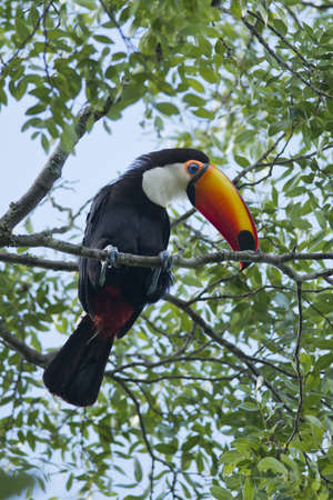 colorful toucan sitted on a branch in the Iguazu National Park between Argentina and Brazil