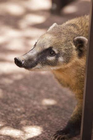 the snout of a coati, with its long nose, in Iguazu National Park between Argentina and Brazil