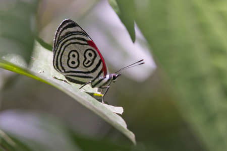 butterfly  diaethria also called 88, in the Iguazu National Park between Argentina and Brazil