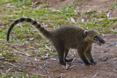 A coati, with its long nose, in Iguazu National Park between Argentina and Brazil Stock Photo