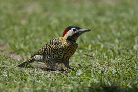 scientifical: Striped woodpecker on the grass, scientifical name veniliornis lignarus