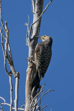 flicker: Chilean flicker  scientifical name Colaptes Pitius  clinged to a tree against the blue sky