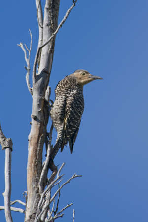 scientifical: Chilean flicker  scientifical name Colaptes Pitius  clinged to a tree against the blue sky