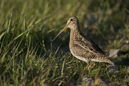 South American  snipe on the grass in the laguna Nimez in Patagonia, Argentina  Scientifical name Gallinago Paraguaiae photo