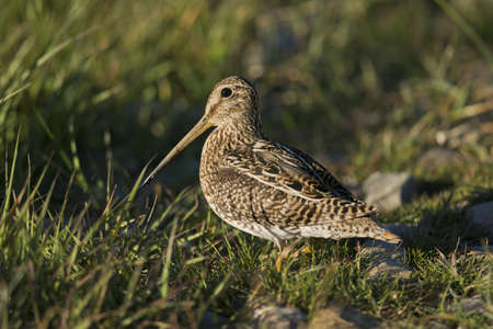 scientifical: South American  snipe on the grass in the laguna Nimez in Patagonia, Argentina  Scientifical name Gallinago Paraguaiae Stock Photo