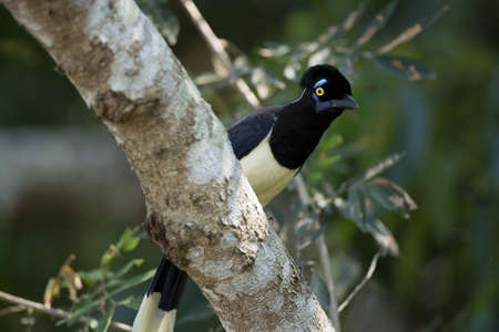 typical bird of the rainforest of Iguazu, between Argentina and Brazil  A plush-crested Jay also called urraca photo