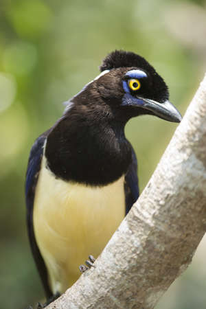 corvidae: typical bird of the rainforest of Iguazu, between Argentina and Brazil  A plush-crested Jay also called urraca