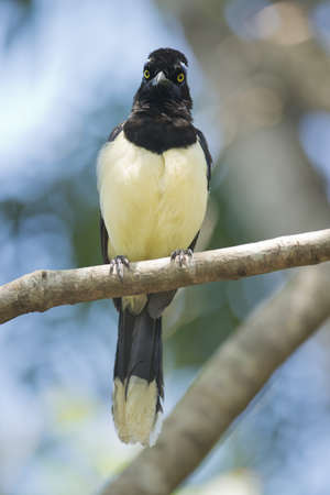 typical bird of the rainforest of Iguazu, between Argentina and Brazil. A plush-crested Jay also called urraca Stock Photo - 17435387