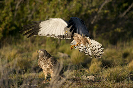 Male cinereous harrier flying at female harrier in the Laguna Nimez in Patagonia, Argentina