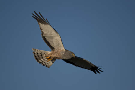 Male cinereous harrier flying in the blue sky, over the Laguna Nimez in Patagonia, Argentina Stock Photo