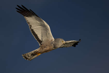 Male cinereous harrier flying in the blue sky, over the Laguna Nimez in Patagonia, Argentina photo