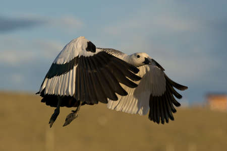 one male upland goose (chloephaga picta) flying  in laguna nimez, patagonia, argentina photo