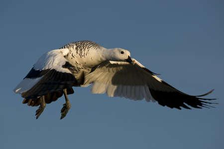 one male upland goose (chloephaga picta) flying  in laguna nimez, patagonia, argentina