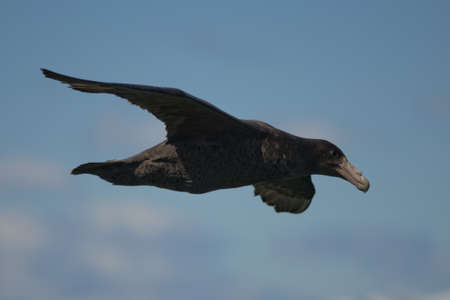 tierra: southern petrel flying over the Beagle Channel in Ushuaia, Tierra del Fuego Stock Photo