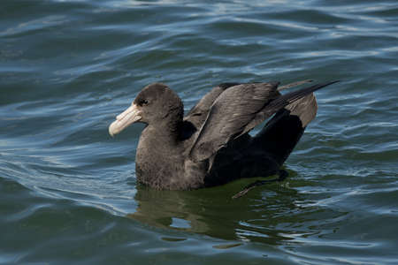 tierra: southern petrel on the water of the Beagle Channel in Ushuaia, Tierra del Fuego