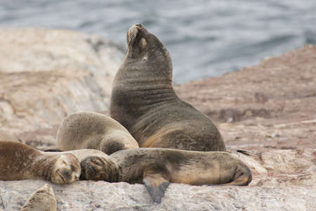 a group of females south american sea lions with a male, on the rocks in the Beagle Channel, Tierra del Fuego