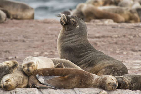 flavescens: a group of females south american sea lions with a male, on the rocks in the Beagle Channel, Tierra del Fuego