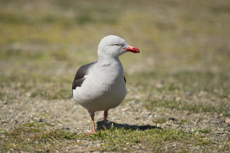 tierra: a dolphin gull (scientific name leucophaeus scoresbii) typical of the tierra del fuego