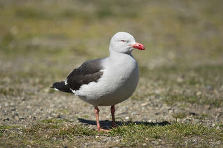 charadriiformes: a dolphin gull (scientific name leucophaeus scoresbii) typical of the tierra del fuego