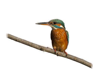 alcedinidae: Female kingfisher on a branch isolated on a white background