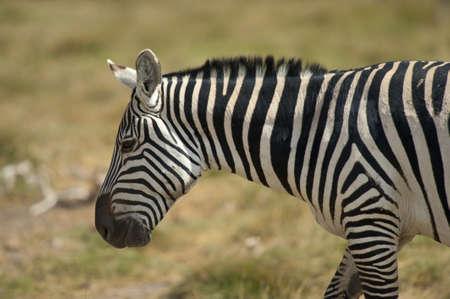 amboseli: zebra in Amboseli national park