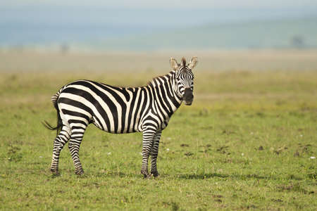 zebra in Amboseli national park Stock Photo - 18297502