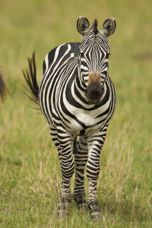 zebra in Amboseli national park Stock Photo - 18297509