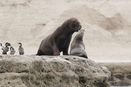 Couple of sout american sea lions in Peninsula Valdez, Patagonia, Argentina Stock Photo