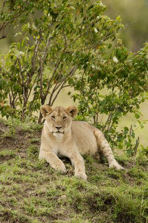 Lion in the savannah Stock Photo - 18312542