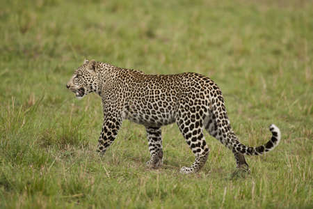 Leopard walking in the savannah in Masai Mara National Park in Kenya Stock Photo - 18307743