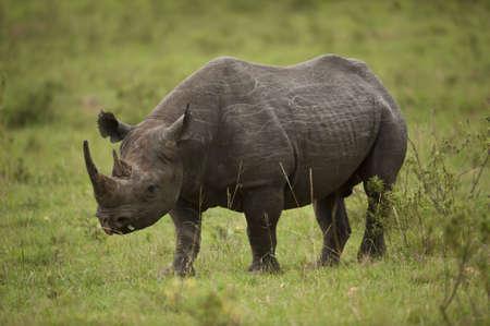 Black rhinoceros in Masai Mara National Park in Kenya