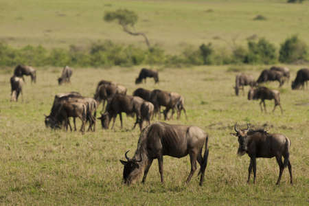 Herd of wildebeests in Masai Mara National Park in Kenya Stock Photo - 18340012