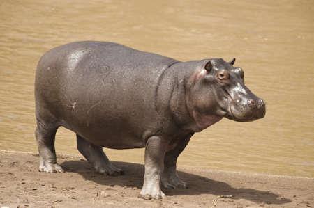 Hippopotamus on the shore of the Mara River in Kenya